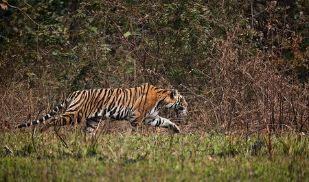 """Kanha Tigress Stalking II""     Kanha National Park, India"