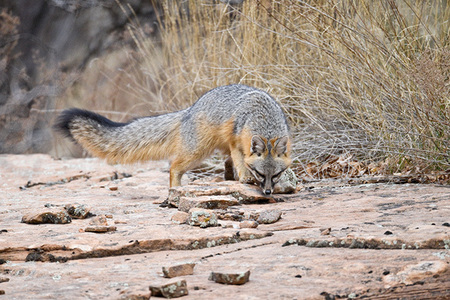 """Gray Fox on the Prowl""     Zion National Park, Utah"