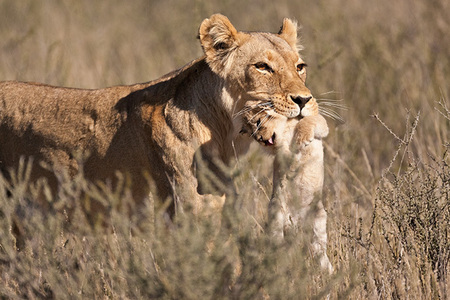 """Lioness Moving Cub III""     Kgalagadi National Park, South Africa"