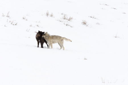 """Wolves at Play I (Druid Pack 2008)""     Lamar Valley, Yellowstone National Park, Wyoming"
