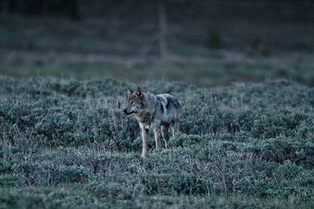 """Gray Wolf In Fading Light""     Yellowstone National Park, Wyoming"