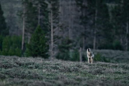 """Gray Wolf Howling At Dusk I""     Yellowstone National Park, Wyoming"