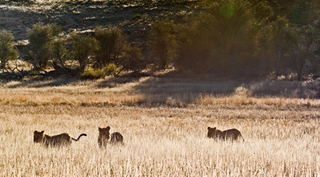 """Backlit Subadult Lions""     Kgalagadi Transfrontier Park, South Africa"
