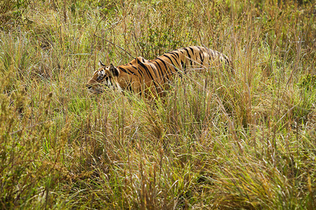 """Male Tiger Stalking""     Kanha National Park, India"