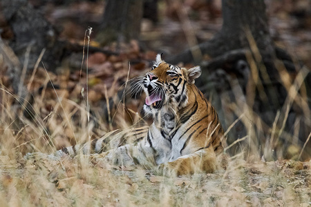 """Tigress Yawning""     Bandhavgarh National Park, India"