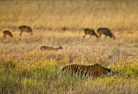 """Tigress - Evening Stalk VI""     Bandhavgarh National Park, India"
