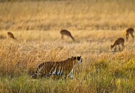 """Tigress - Evening Stalk V""     Bandhavgarh National Park, India"