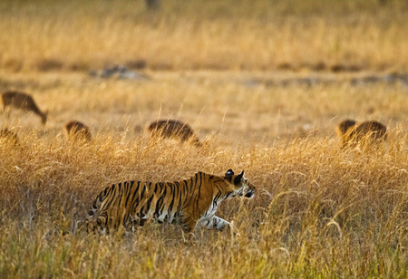 """Tigress - Evening Stalk IV""     Bandhavgarh National Park, India"