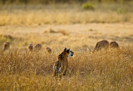 """Tigress - Evening Stalk III""     Bandhavgarh National Park, India"