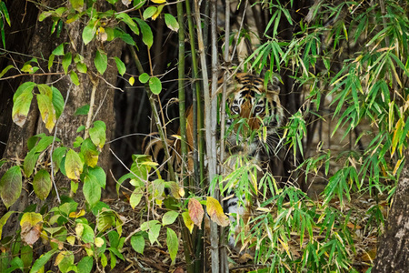 """Tiger Cub in Bamboo""     Bandhavgarh National Park, India"