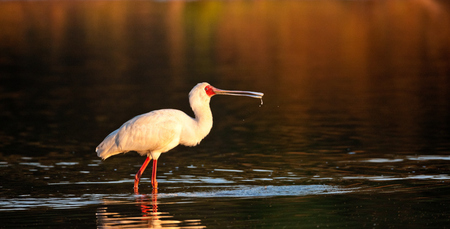"""Spoonbill at First Sunlight""     South Luangwa National Park, Zambia"
