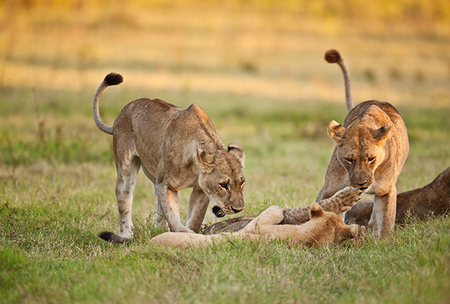 """Lions At Play!""     South Luangwa National Park, Zambia"