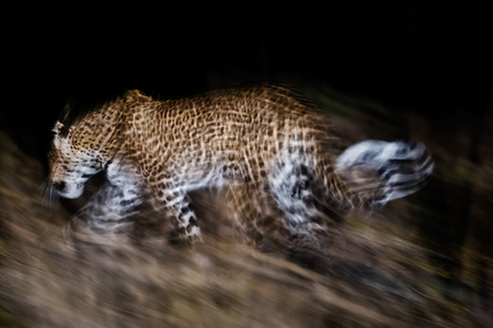 """Leopard Blur Into The Night""     South Luangwa National Park, Zambia"