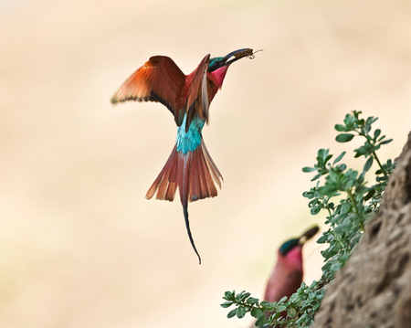"""Carmine Bee-Eaters II""     South Luangwa National Park, Zambia"