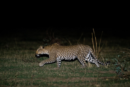"""Female Leopard Stalking at Night""     South Luangwa National Park, Zambia"