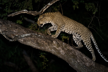 """Male Leopard Ascending Tree""     South Luangwa National Park, Zambia"
