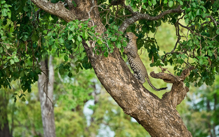 """Male Leopard Cub Leaping On Tree""     South Luangwa National Park, Zambia"