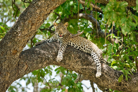 """Male Leopard Cub Resting in Tree""     South Luangwa National Park, Zambia"