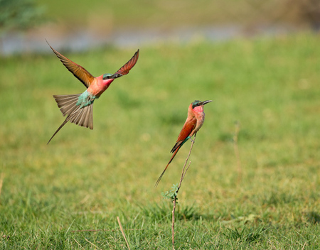 """Two Carmine Bee-Eaters""     South Luangwa National Park, Zambia"
