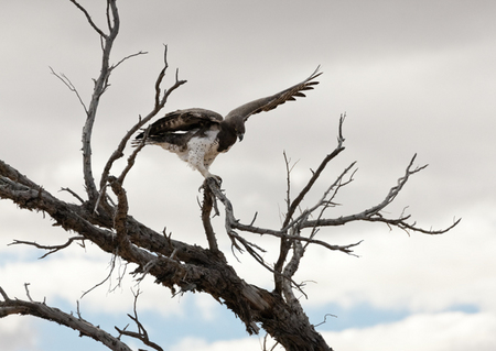 """Martial Eagle I""     Kgalagadi Transfrontier Park, South Africa"