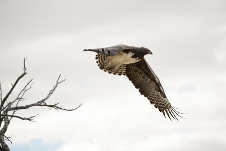 """Martial Eagle II""     Kgalagadi Transfrontier Park, South Africa"