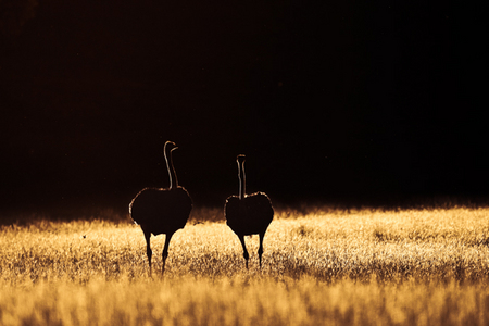 """Pair of Ostrich (Color)""     Kgalagadi Transfrontier Park, South Africa"
