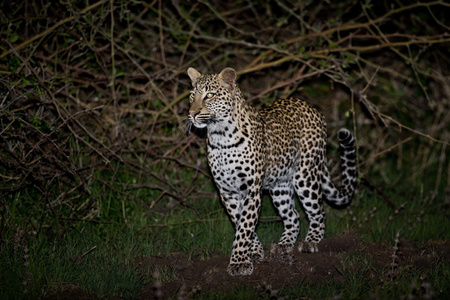 """Leopard Cub At Night""     South Luangwa National Park, Zambia"