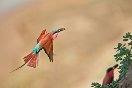 """Carmine Bee-Eater Returning With A Meal""     South Luangwa National Park, Zambia"