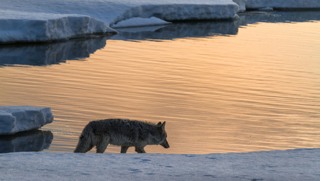 """Coyote At The Edge Of Thawing Lake Yellowstone""     Yellowstone National Park, Wyoming"