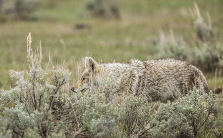 """Coyote Stalking""     Yellowstone National Park, Wyoming"