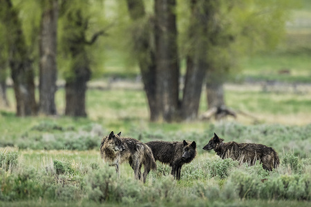 """Lamar Canyon Wolves I""     Yellowstone National Park, Wyoming"