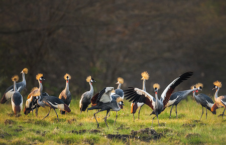 """Crowned Cranes Mating Dance""     Zambia"