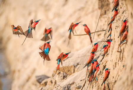 """Carmine Bee-Eater Colony""     South Luangwa National Park, Zambia"