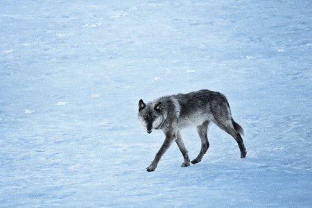 """Wolf (755M) Crossing Frozen Lake""     Yellowstone National Park, Wyoming"