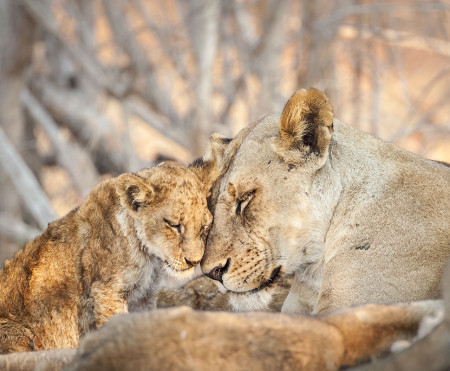 """Lioness And Cub (Tender Moment)""     South Luangwa National Park, Zambia"