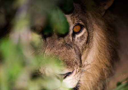 """Lion Eyes""     South Luangwa National Park, Zambia"