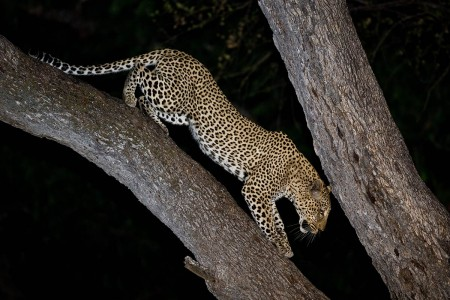 """Male Leopard Descending Tree""     South Luangwa National Park, Zambia"