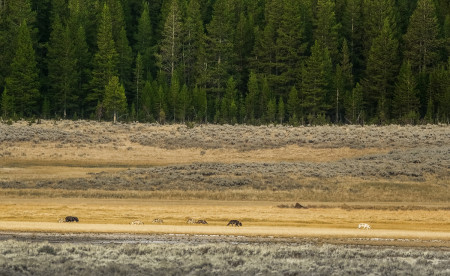 """Wapiti Pack In The Open (includes Three Mollie Males)""     Yellowstone National Park, Wyoming"