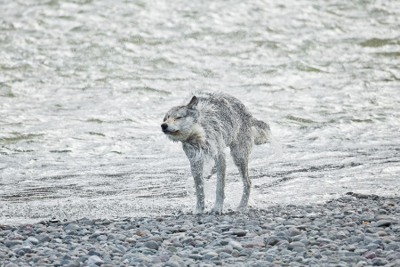 """Wolf (Middle Grey) Drying Off II""   Yellowstone National Park, Wyoming"