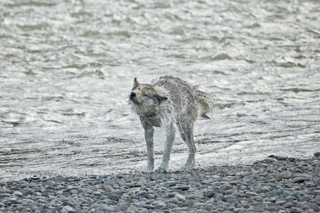 """Wolf (Middle Grey) Drying Off I""   Yellowstone National Park, Wyoming"