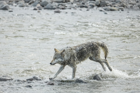 """Wolf (Middle Grey) In Pursuit III""   Yellowstone National Park, Wyoming"