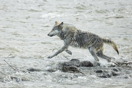 """Wolf (Middle Grey) In Pursuit I""   Yellowstone National Park, Wyoming"