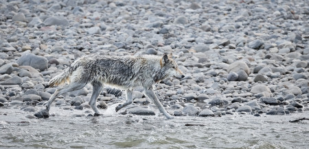 """Wolf (Middle Grey) Along The River""   Yellowstone National Park, Wyoming"