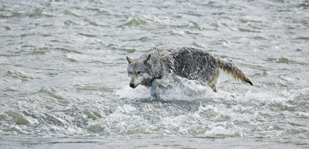 """Wolf (Middle Grey) In The River""   Yellowstone National Park, Wyoming"
