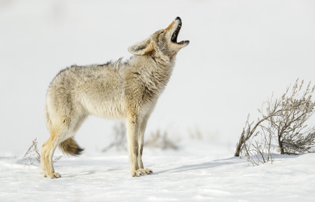 """Coyote Calling""     Yellowstone National Park, Wyoming"