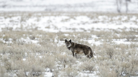 """Lamar Alpha Female Wolf (926F)""     Yellowstone National Park, Wyoming"
