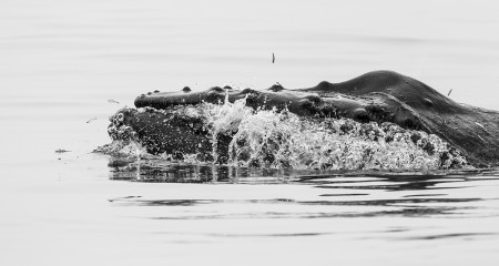 """Humpback Whale And Anchovies I""     Seacliff, California"