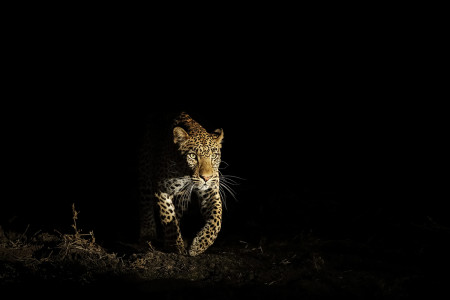 """Leopard Emerging Out Of The Shadows""     South Luangwa National Park, Zambia"