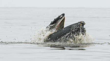 """Humpback Whale Feeding On Anchovies""     Seacliff, California"
