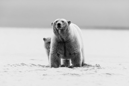 """Polar Bear Mother And Cub Crossing The Channel (BW)""     Beaufort Sea, Alaska"